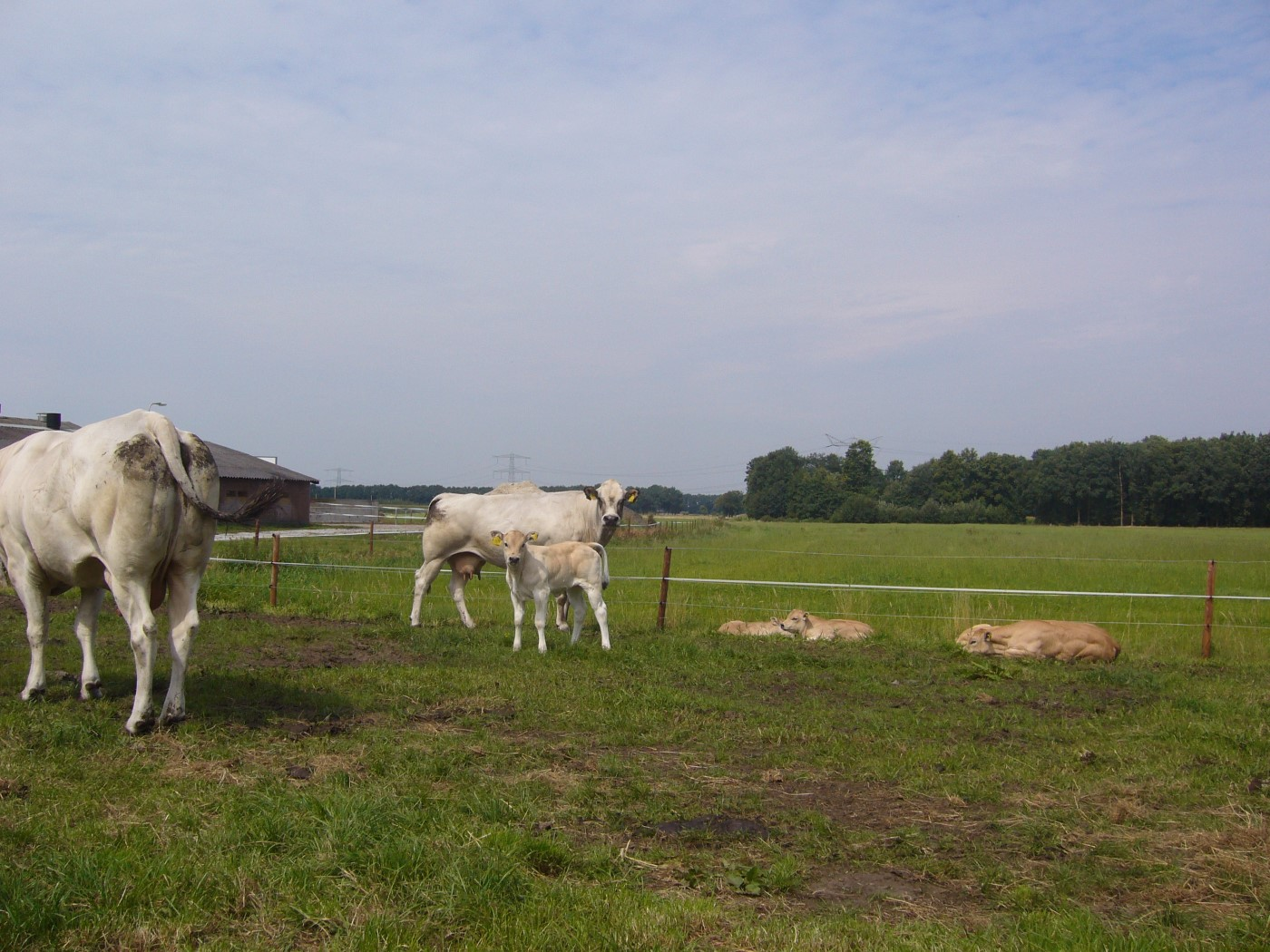 piemontese koeien 010 (Custom)
