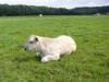 piemontese koeien 005 (Custom)