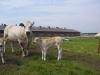 piemontese koeien 014 (Custom)