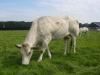 piemontese koeien 017 (Custom)