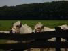 piemontese koeien 099 (Custom)