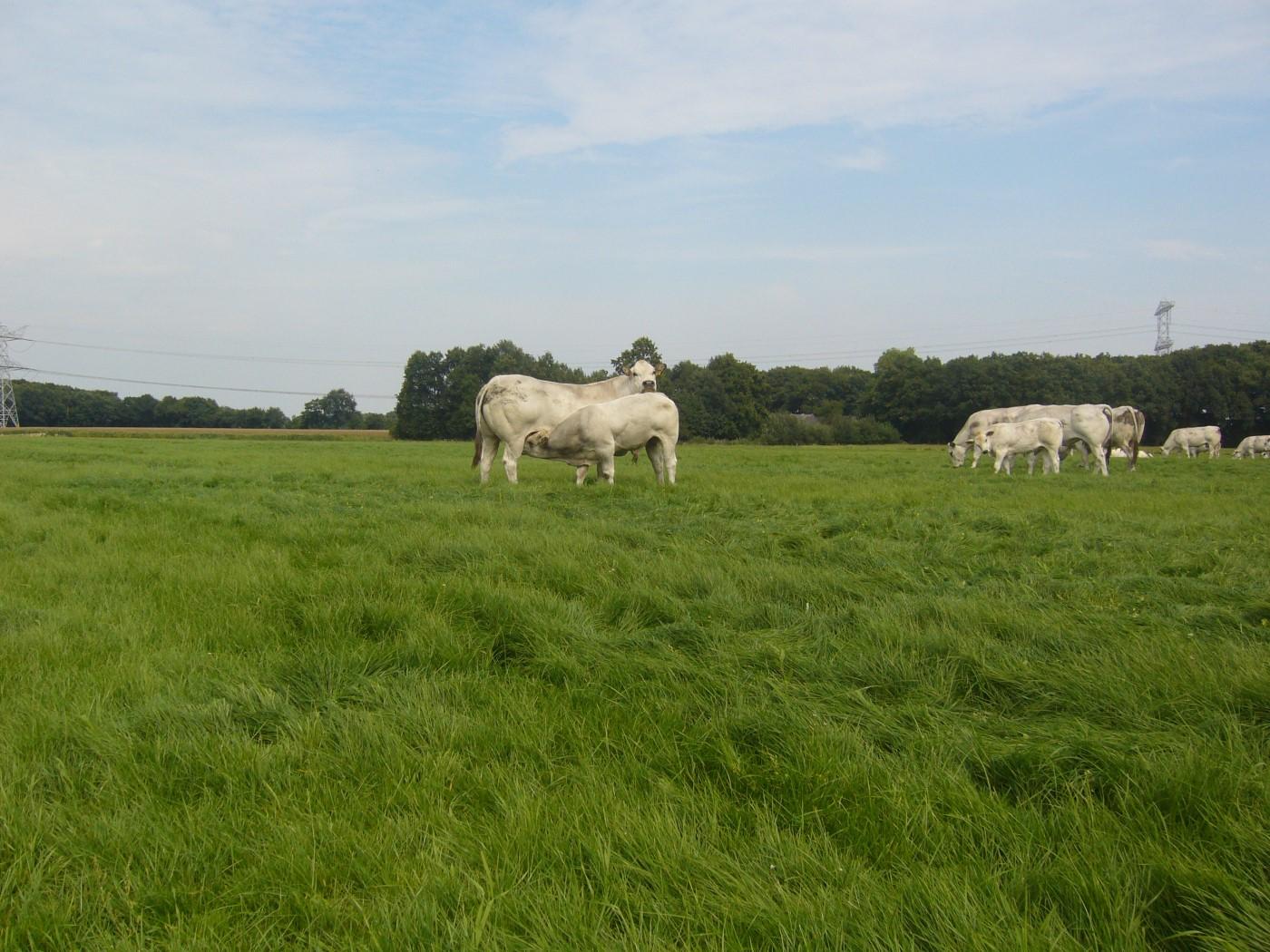 piemontese koeien 020 (Custom)