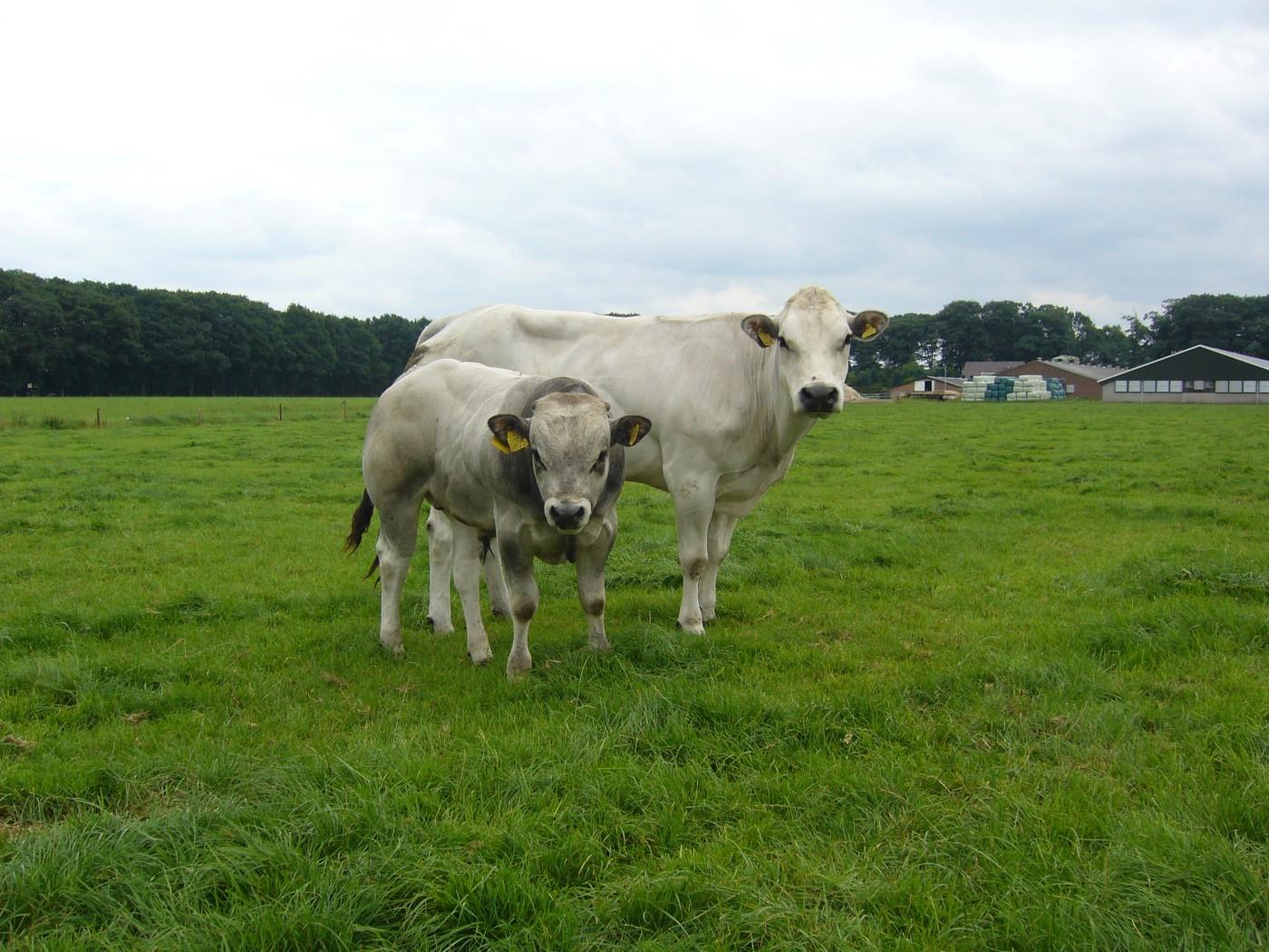 piemontese koeien 078 (Custom)